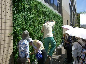 緑のカーテン収穫