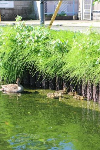 江川せせらぎ遊歩道を遡上するカルガモたち