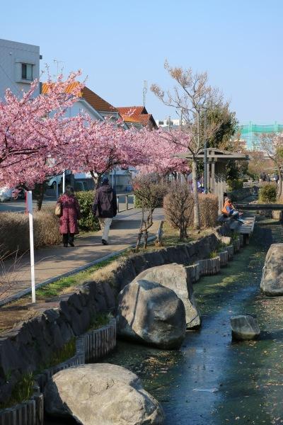 江川せせらぎ遊歩道の河津桜