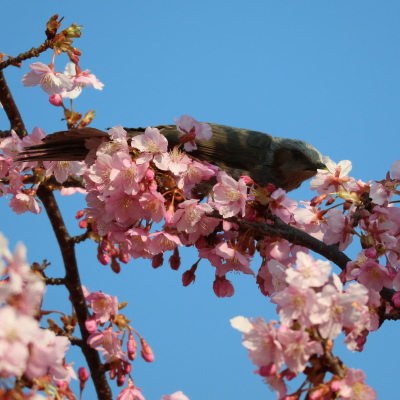 河津桜の蜜を吸う鳥