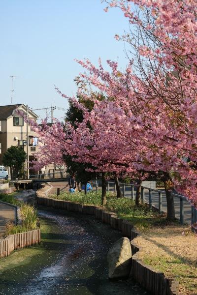 江川せせらぎ遊歩道に続く河津桜