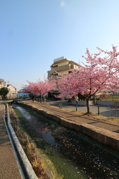 遊歩道と河津桜