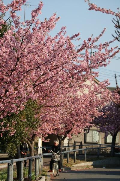 江川せせらぎ遊歩道のカーブの河津桜