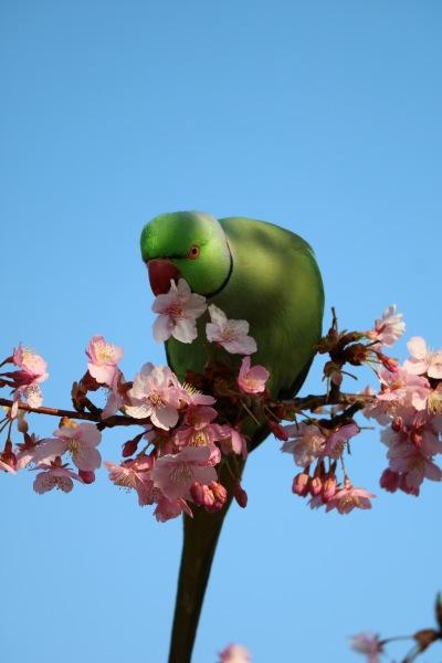 河津桜の花弁を散らす鳥