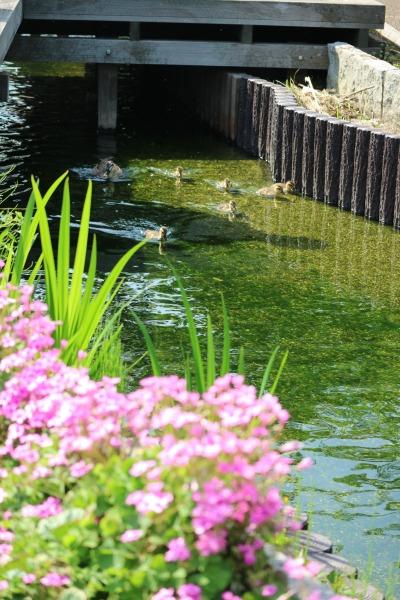 春の江川せせらぎ遊歩道を泳ぐ親子たち