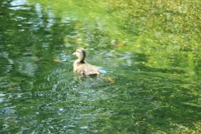 親ガモの方に泳ぐ子ガモ