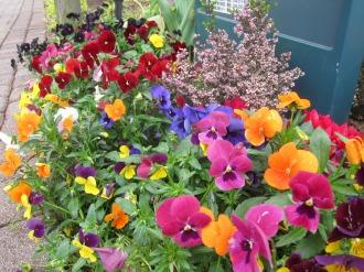 「中原区の花」パンジー