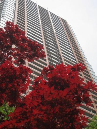 カエデの木とTHE KOSUGI TOWER