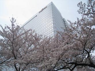 満開のソメイヨシノと本部ビル(2009年)