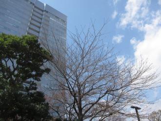 富士通川崎工場前庭のソメイヨシノ