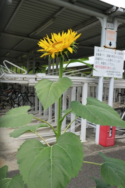 「三菱ふそうトラック・バス川崎工場」のヒマワリ