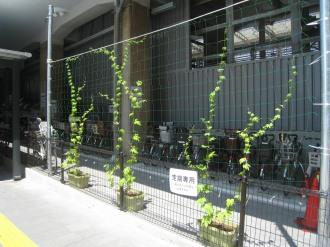 横須賀線武蔵小杉駅自転車第4駐車場のゴーヤー