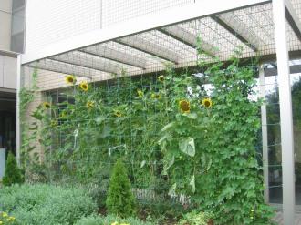 区民デザイン花壇前のひまわり