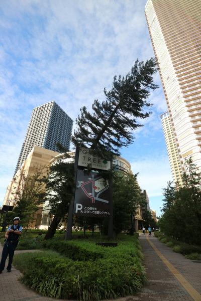 倒木となったグランツリー武蔵小杉のセンペルセコイア