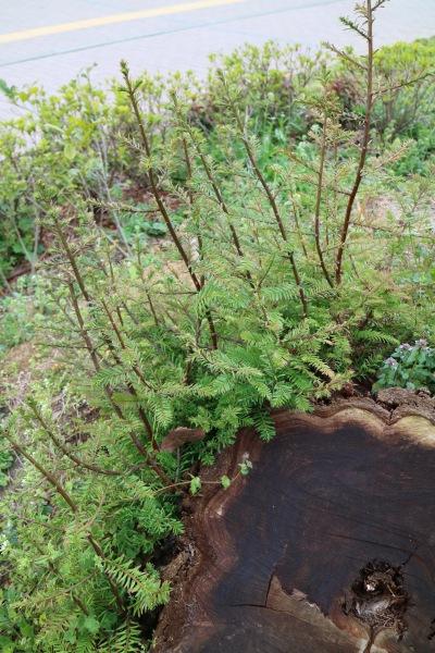 新たな枝葉が伸びてきたセンペルセコイア