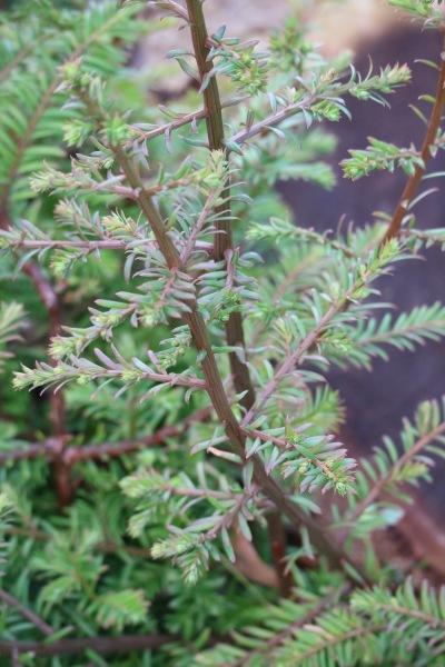 センペルセコイアの枝葉