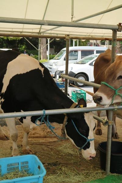 乳牛の展示