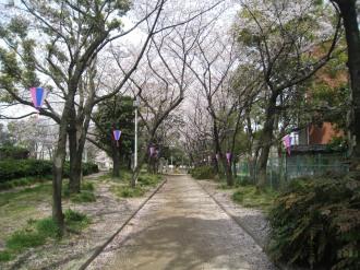 くすのき通りの桜1