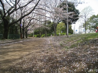 くすのき通りの桜2