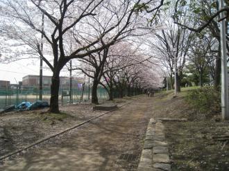 住吉高校沿いの桜並木