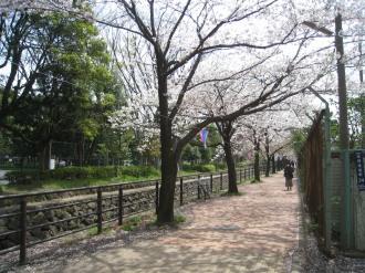 中原平和公園内の二ヶ領用水の桜並木