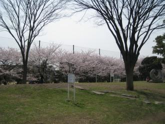 芝生と桜並木