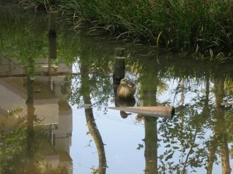 ギンヤンマの池