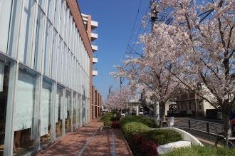 ソメイヨシノの咲く井田病院新棟