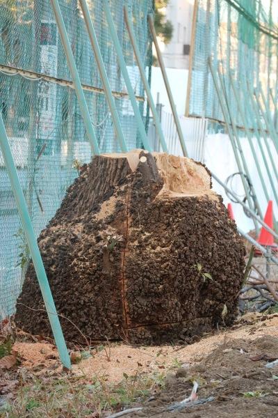 伐採されたソメイヨシノ