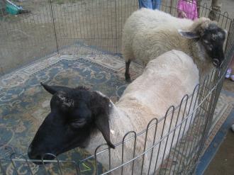 移動動物園の羊