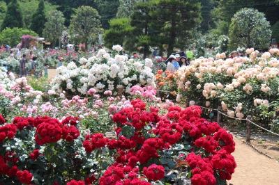 生田緑地ばら苑 春の開苑