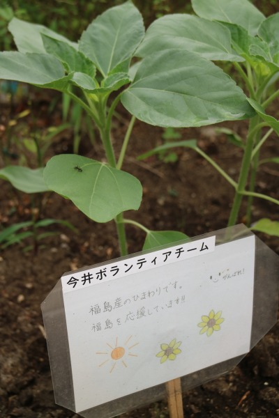 福島産のひまわり
