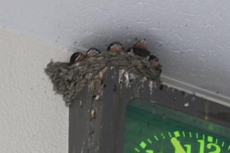 平間駅の改札口にあったツバメの巣