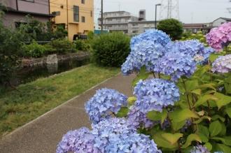 江川せせらぎ遊歩道の紫陽花