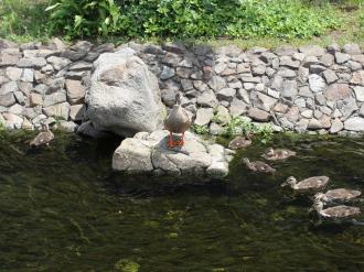 岩にのぼった親ガモ