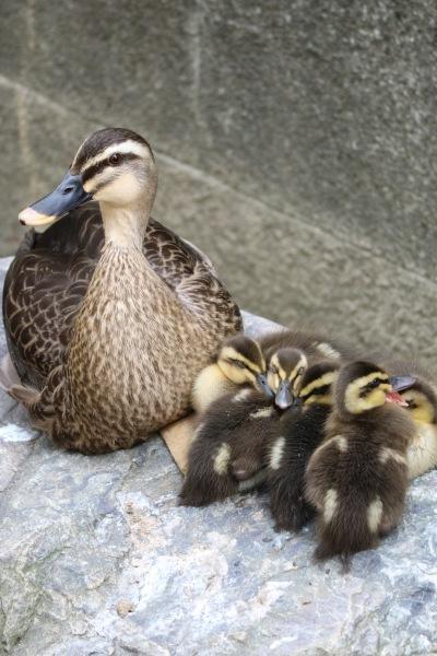 母ガモと5羽の子ガモ