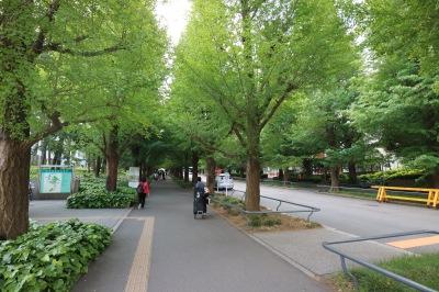 日吉キャンパスの銀杏並木