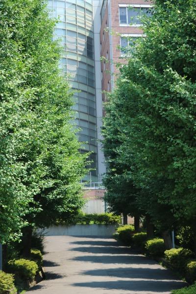 矢上キャンパスの銀杏並木