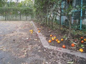 公園の端に落ちた柿の実