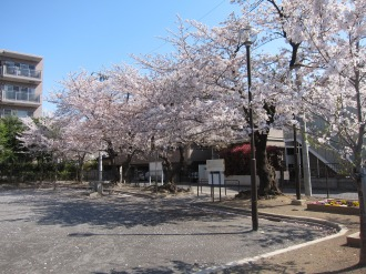 今井さくら公園のソメイヨシノ
