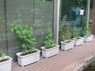 2011年の中原区役所のゴーヤー栽培