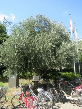 中原区役所のオリーブの木