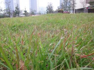 養生された芝生
