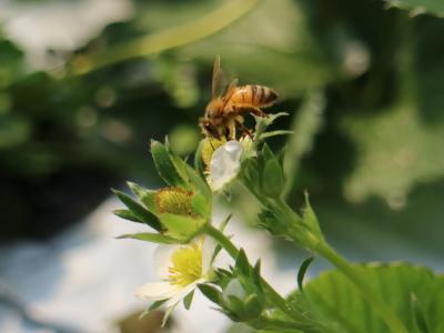いちごの花と、ハチによる受粉