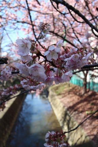 二ヶ領用水の早咲きの桜