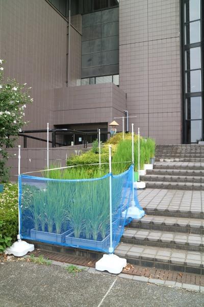 川崎市市民ミュージアムの「ミュージアムで田んぼ」