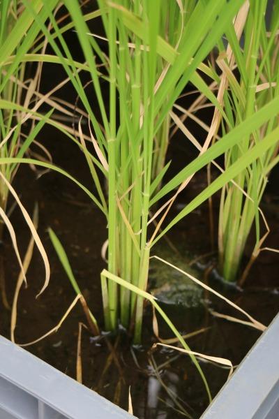 元気に育つ稲