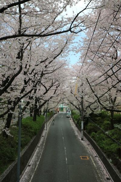 さくら橋から見たソメイヨシノ