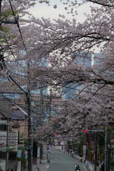 「さくら橋」から見たソメイヨシノと、武蔵小杉の高層ビル群