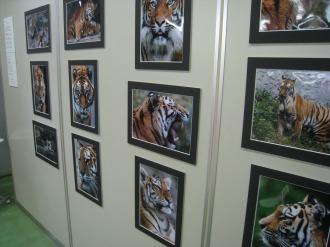 2009年に開催されていた高山景司さんの写真展「Tigers」
